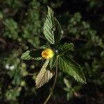 Piriqueta cistoides