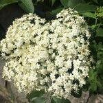 Sambucus nigra Kvet