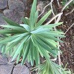 Euphorbia bourgeana