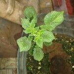 Solanum tuberosum Blad
