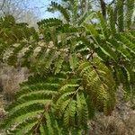 Peltophorum pterocarpum Levél