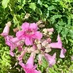 Podranea ricasoliana Kwiat
