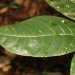 Bonafousia macrocalyx