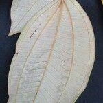 Miconia holosericea