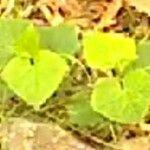 Cucumis melo Leaf