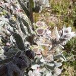 Cynoglossum cheirifolium 果実