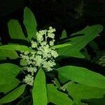Chenopodium ficifolium