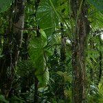 Anthurium grandifolium