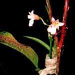 Ionopsis satyrioides