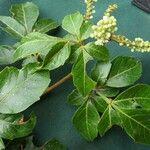 Serjania racemosa