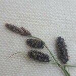 Carex atrata