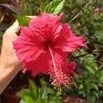Hibiscus rosa-sinensis 花