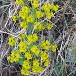 Euphorbia cyparissias