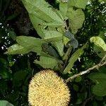 Naucleopsis