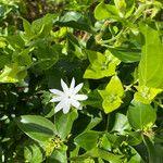 Jasminum multiflorum Cvet
