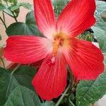 Hibiscus martianus