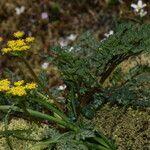 Lomatium martindalei