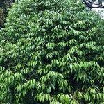 Neobalanocarpus heimii