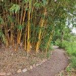 Bambusa vulgaris Egyéb