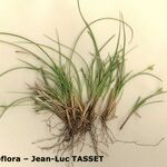 Carex oedipostyla