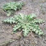 Verbascum sinuatum Blatt