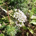 Valeriana rotundifolia