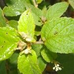 Ficus crassinervia