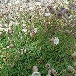 Silene uniflora Pflanze