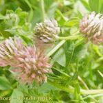 Trifolium isthmocarpum