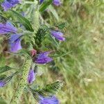 Echium vulgare Kvet