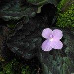 Kaempferia pulchra 花