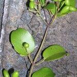 Jasminum artense