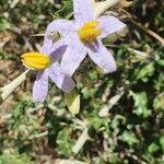 Solanum arundo