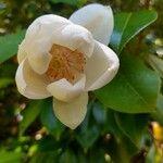 Magnolia sieboldii Flower