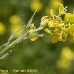 Sinapis pubescens