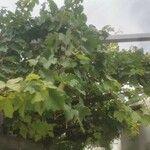 Vitis vinifera Liść