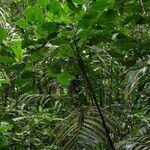 Piper auritifolium