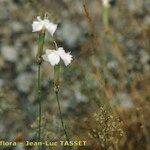 Dianthus arrosti
