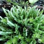 Bryaceae