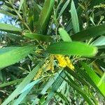 Acacia spirorbis