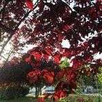 Prunus cerasifera Leaf