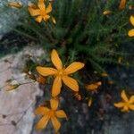 Hypericum coris