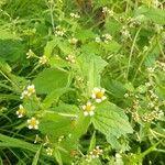 Galinsoga quadriradiata Kwiat