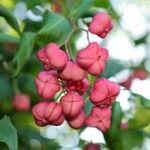 Euonymus europaeus 花