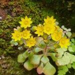 Aichryson villosum