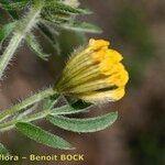 Anthyllis hamosa