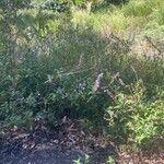 Salvia leucantha Virág