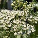 Pimpinella anisum