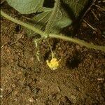 Cucumeropsis mannii