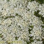 Coristospermum lucidum